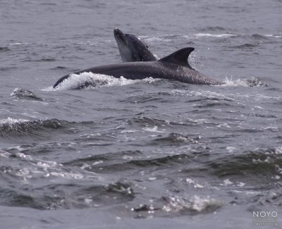 Photograph of dolphins at Chanonry Point by Norman Young