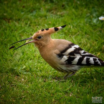Photo of a Hoopoe bird taken at Cromarty by Norman Young